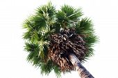Sugar Palm Tree, Sugar Toddy Palm Tree, Sugar Palm Single On White Background poster
