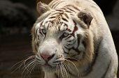 starrendes tiger