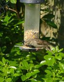 Sparrow bird on feeder