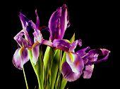 Purple Iris Bunch