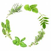 picture of valium  - Herb leaf garland of basil variegated sage lavender lemon balm valerian  - JPG