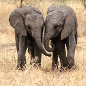 Side-by-Side - baby elephants