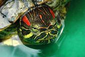 Tortoise Red-Eared Sliders (Trachemys Scripta Elegans)