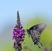 Borboleta de Swallowtail do tigre Oriental
