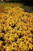 Yellow Coleus