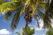 Coconuts in Palm tree, on tropical island.