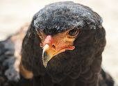 Male Bateleur eagle