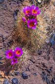 Wild Cactus Blossom