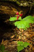 stock photo of trillium  - Purple Trillium flower grows in the underwood at spring - JPG