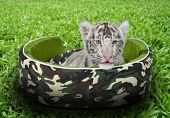 baby white tiger laying in a mattress