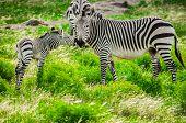 Zebras de montanha Hartmann