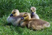 three canadian geese babies. goslings