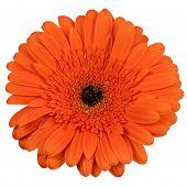 Orange Gerber Flower Isolated On White Background