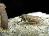 pic of gadfly  - A big gadfly waiting on cement alone - JPG