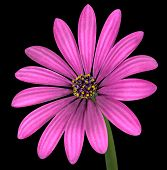 Violet Pink Osteosperumum Flower Isolated On Black