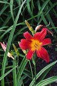 Blooming Hemerocallis