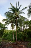 Palm Tree With Coconuts In Tropical Destination poster