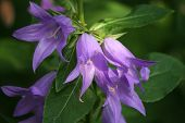 picture of gentle giant  - giant purple bellflower with leaves  - JPG