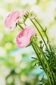 stock photo of buttercup  - Ranunculus  - JPG