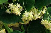 yellow flowers of linden tree at july month