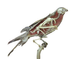 picture of eye-sockets  - Stuffed falcon bird with skeleton inside isolated over white background - JPG