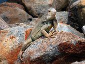 Iguana,reptile