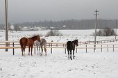 Horses Standing Back In A Winter Day