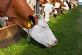 picture of grass-cutter  - Cow eating green cutter grass in stable - JPG