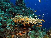 Acropora coral and fish