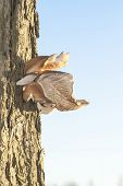 picture of bracket-fungus  - tree Fungi mushroom fungus in the wood - JPG