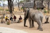 Massai Guards And Wild Elephant (circa September 2008, Ruaha National Park area, Tanzania)