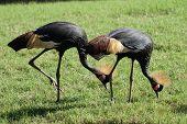 Black-crowned Crane - Balearica Pavonina