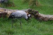 Eurasian Crane