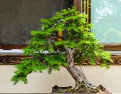 Inclined Small Bonsai Tree On Window Background