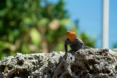 Red-headed Rock Agama Lizard Looking At Viewer