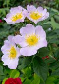 Briar Rose flower