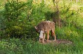Coyote (Canis Latrans) And Pup Stand Outside Den