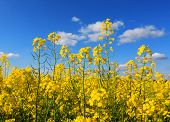 Nice rapeseed field under blue sky
