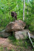 Black Wolf (Canis lupus) Stands On Den Rocks