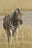 Zebra resting in the grass plains