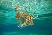 stock photo of lion-fish  - Lion fish swimming under water - JPG