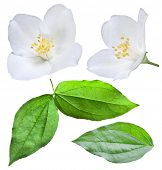 Blooming jasmine flower with leaves. File contains clipping path.