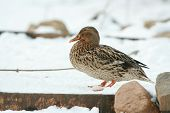 Nice Duck In Winter