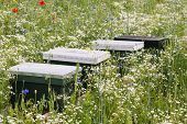 Bee Hives Between Blooming Wildflowers