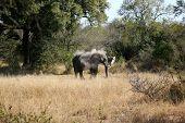 elephant ,kruger park,,nature