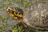Red Eyed Box Turtle - terrapene carolina