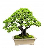 foto of bonsai  - Bonsai - JPG