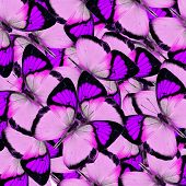 Compilation Of Yellow Orange Tip Butterflies In A Great Purple Background Texture