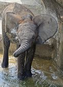 A baby Elephant splashes in pool(2).