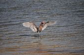 A Reddish Egret performs a hunting dance